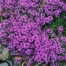 Why You Need Arctic Thyme: It Clears Acne and Benefits Health