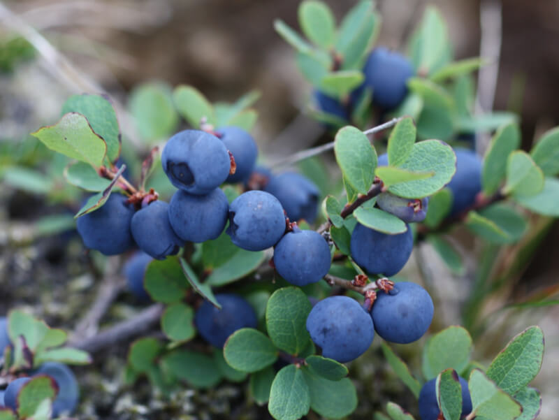 Blueberries101: Health Benefits and Research