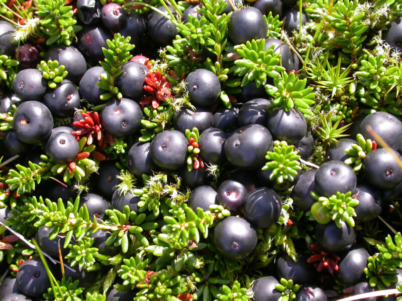 Crowberry Juice: Recipe and Health Benefits